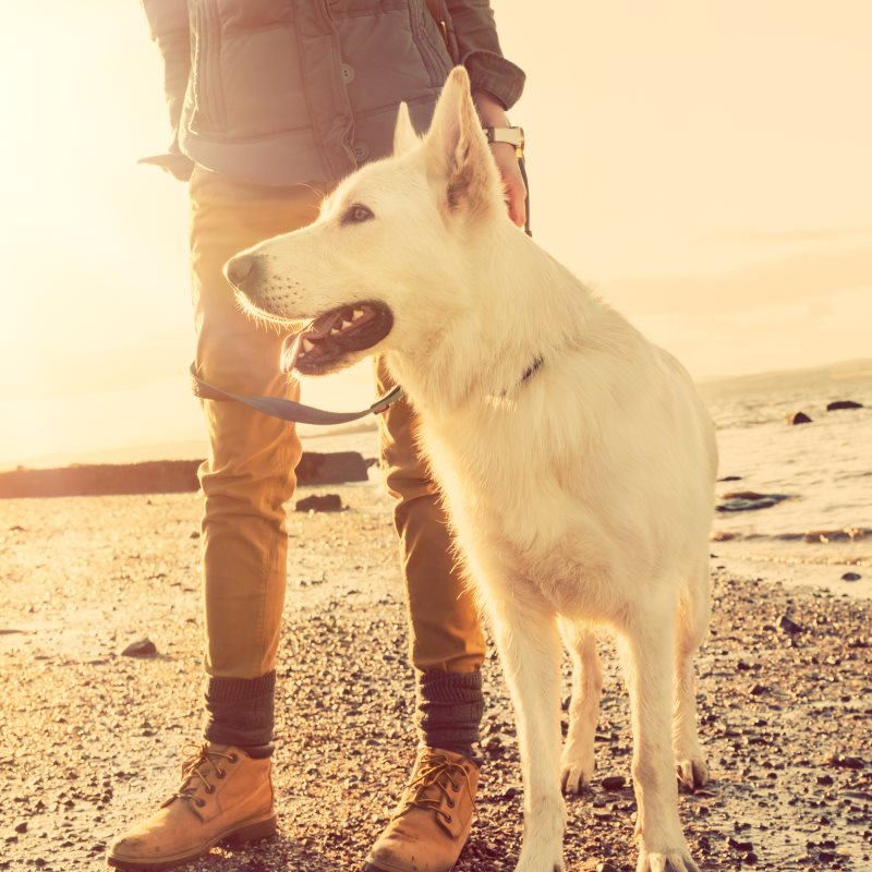 White shep with person on beach
